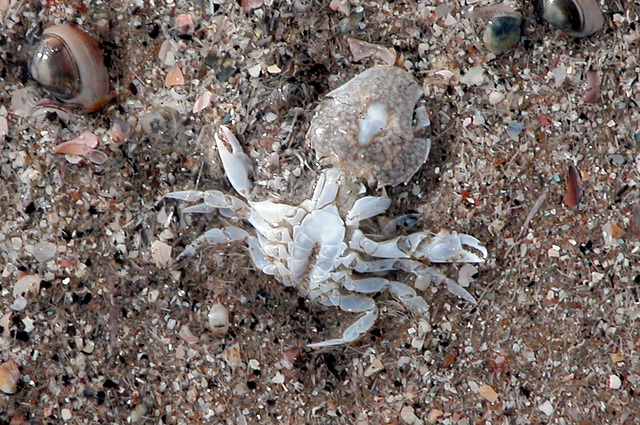 Dead crab on the beach