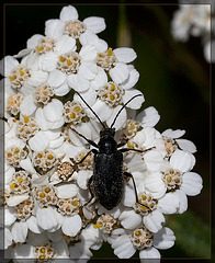 Tanbark Borer Beetle on Yarrow Looking at the Next Destination