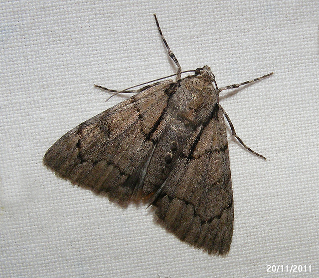 Rhuma species (Female)