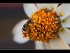 Micro Bee on Coneflower