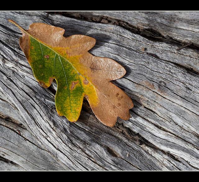 Autumn Textures: White Oak Leaf on Manzanita Log