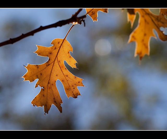 Dancing Oak Leaf