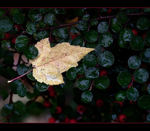 Rainy Day Leaf Captured in Berry Bush