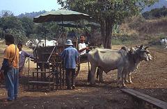 Ox Cart Trip