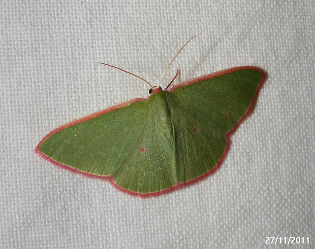 Chlorocoma cadmaria