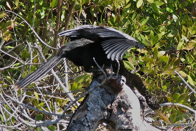 The weirdest looking bird - an anhinga drying its wings