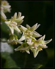 Poison Oak Blossoms: The 89th Flower of Spring & Summer!