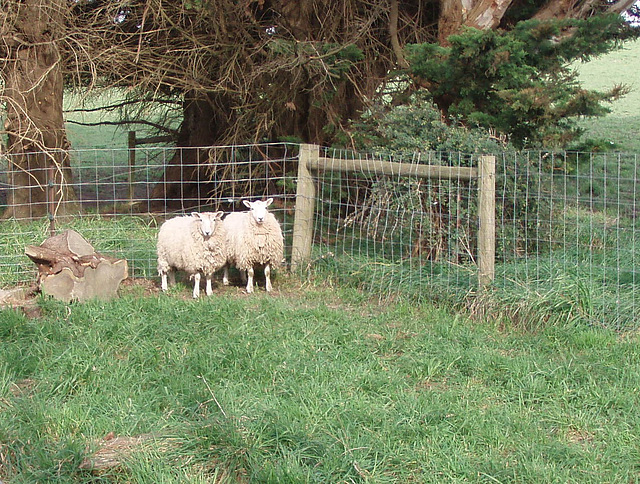 our new sheep
