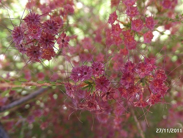 Calytrix tetragona Calyces