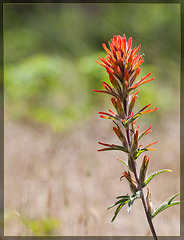 Wavy-Leaved Paintbrush: The 88th Flower of Spring & Summer!