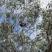 Rail Trail koala