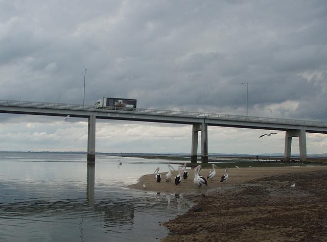 pelicans under Philip Island bridge