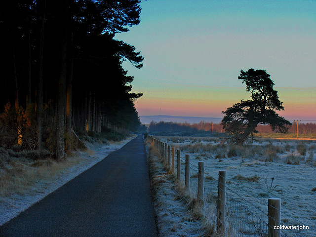 Old Scots Pine on a frosty winter afternoon