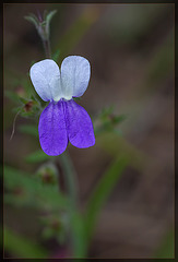 Sticky Blue-eyed Mary: The 87th Flower of Spring & Summer!