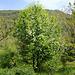Prunus padus 'Albertii'