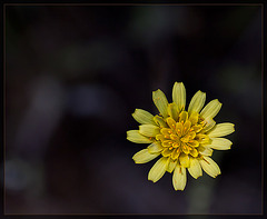 Greene's Hawkweed: The 84th Flower of Spring & Summer!