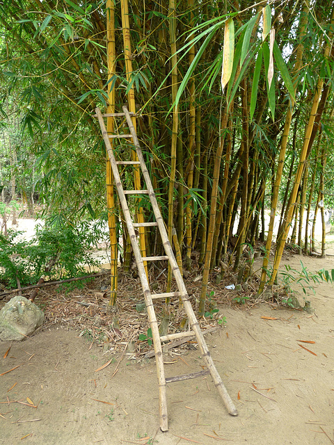 Bamboo Ladder...and Bamboo