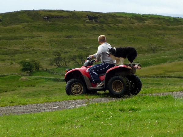 Sheep dog hitches a ride