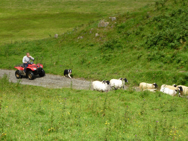 Shepherd on quad bike