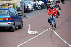 Swan trying to swim on the road