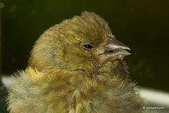 Siskin chick