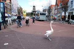 Swan about town