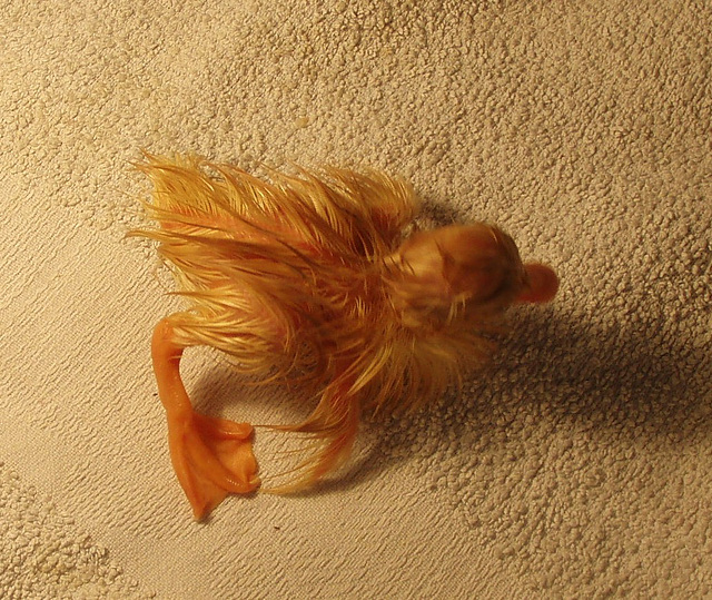 Pekin duckling, newly hatched