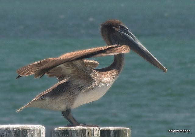 Pelican sunbathing!