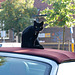 Cat on a soft top roof
