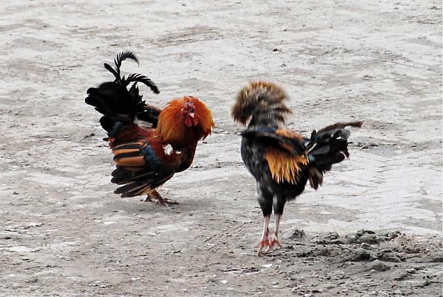 Cock fight outside my office window