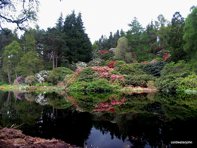 Rhododendrons in bloom by the pond at Blackhills