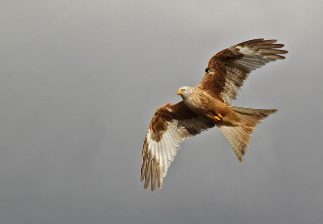 Pale Red Kite Female