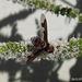 Ligyra sinuatifascia  (Bee Fly)