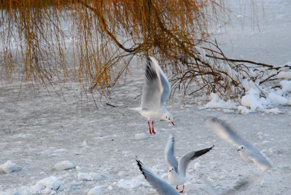 Gulls after bread