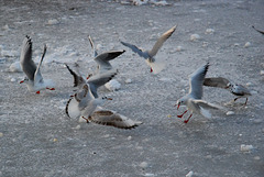 Gulls after bread