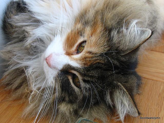Portrait of a Norwegian Forest Cat