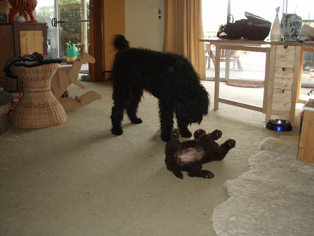 Fonzie and Coco playing