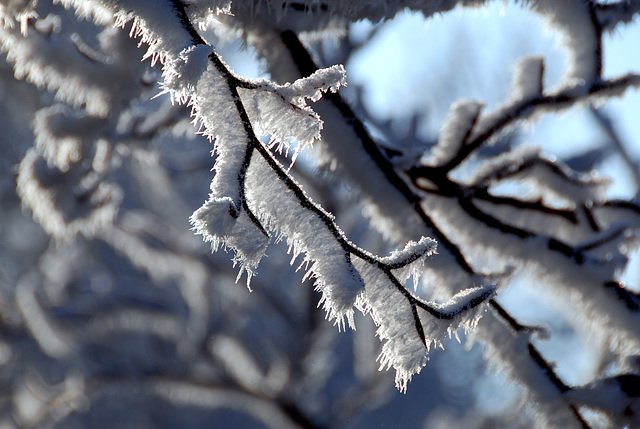 Snow and ice today: hoar-frost on a tree