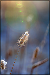 Snow-Covered Weed with Sun Flare