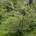 Cotoneaster rotschildianus