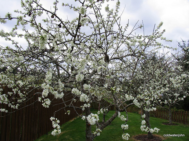Plum blossom in the orchard