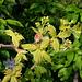 Acer campestre variegata ( pulverulenta)