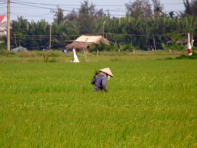 Amidst the Rice