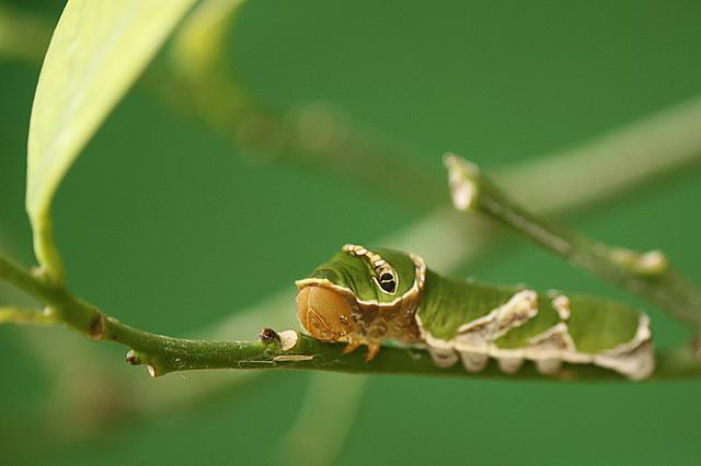 Common Morman Caterpillar
