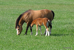 Mother and Foal