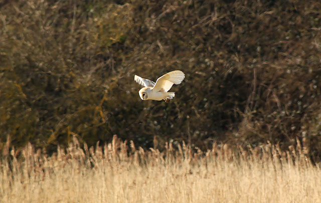 Panel Valley Barn Owl