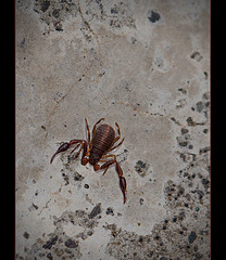 """A Tiny Pseudoscorpion, only 1/4"""" in Size!!!"""