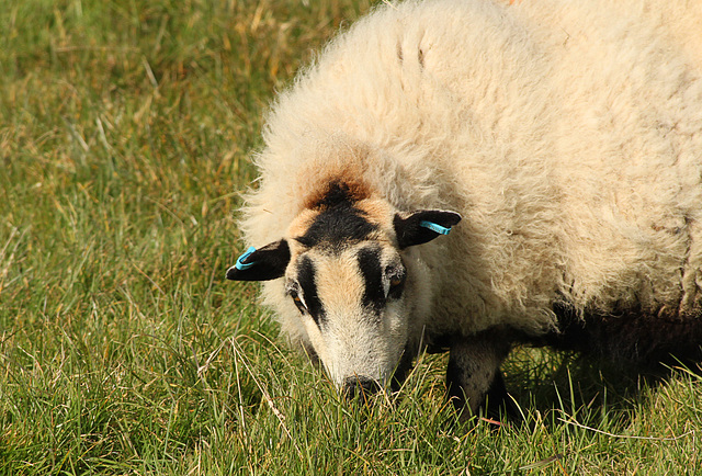 Badger-faced Sheep