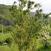 Pinus strobus 'Contorta' (Twisted White Pine )