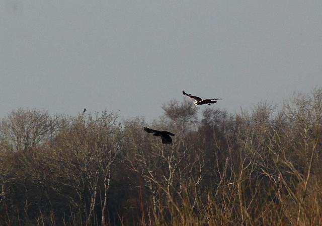 Marsh Harrier & Crow